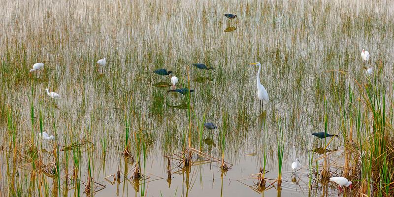 Water_Cranes-Everglades_2012_0698