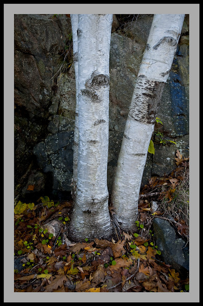 Vee Birch -5381