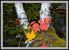 Maple Leaves and Birch -6157