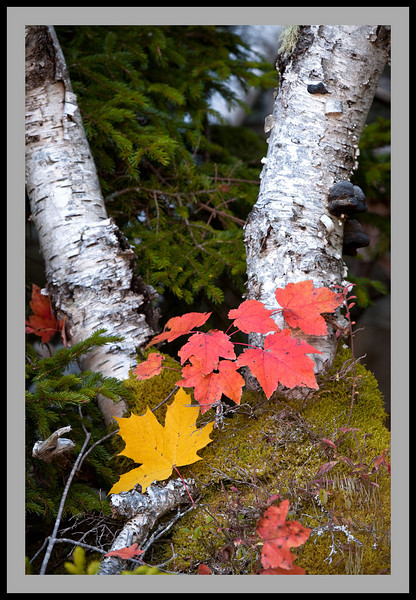Maple Leaves and Birch -6132