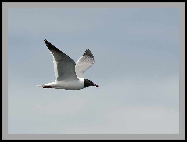 "Laughing Gull flying off the Coast of Petit Manan National Wildlife Refuge, Maine. Taken from the Bar Harbor Whale Watch Company's ""Friendship V"" Catamaran."