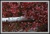White Birch -5558