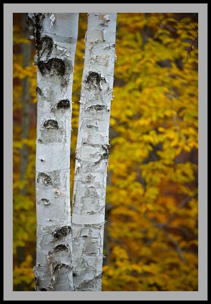 Birch Gold -5919