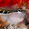 Lined Blenny <i>(Ecsenius lineatus)</i>