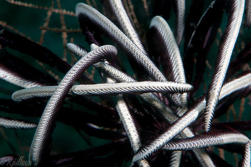 Feather Star <i>(Crinoidea)</i>  detail
