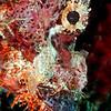 Tasseled Scorpionfish <i>(Scorpaenopsis oxycephala)<i/>