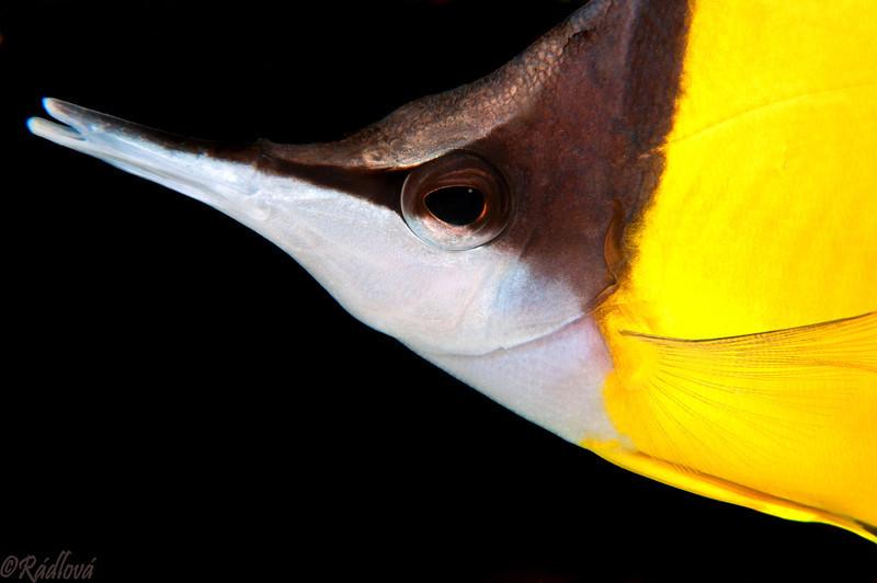 Longnose Butterflyfish <i>(Forcipiger flavissimus)<i/>