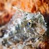 Sailfin /Algae Blenny <i>(Salarias fasciatus)</i>