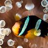 Clarke's Anemonefish <i>(Amphirprion clarkii)</i>