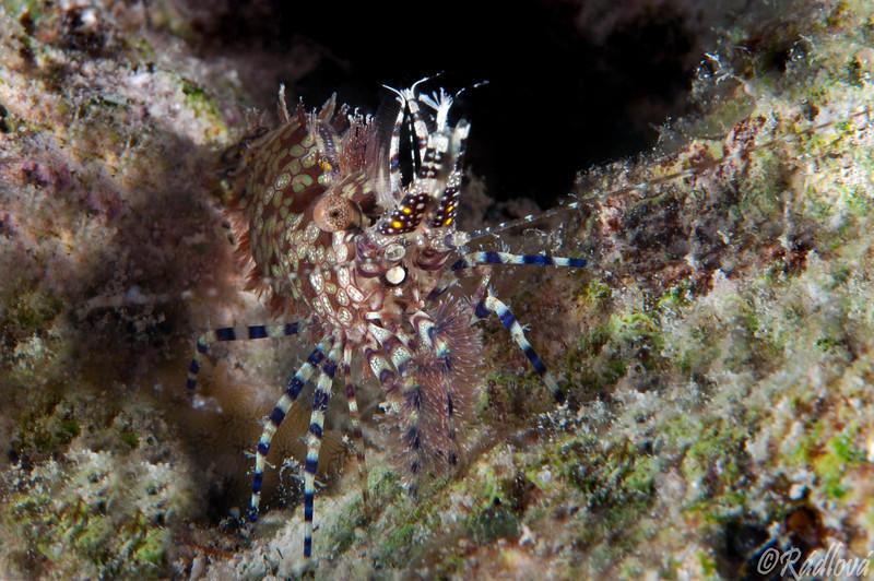 Marble Shrimp <i>(Saron marmoratus)<i/>