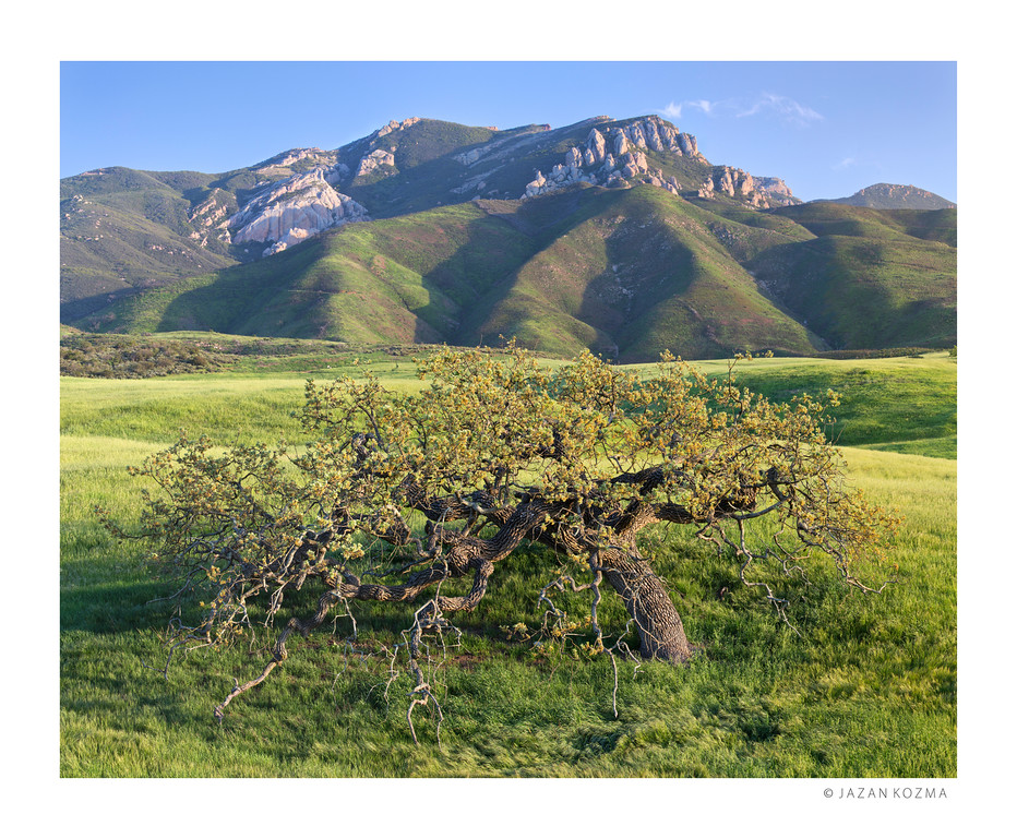 Lone Valley Oak