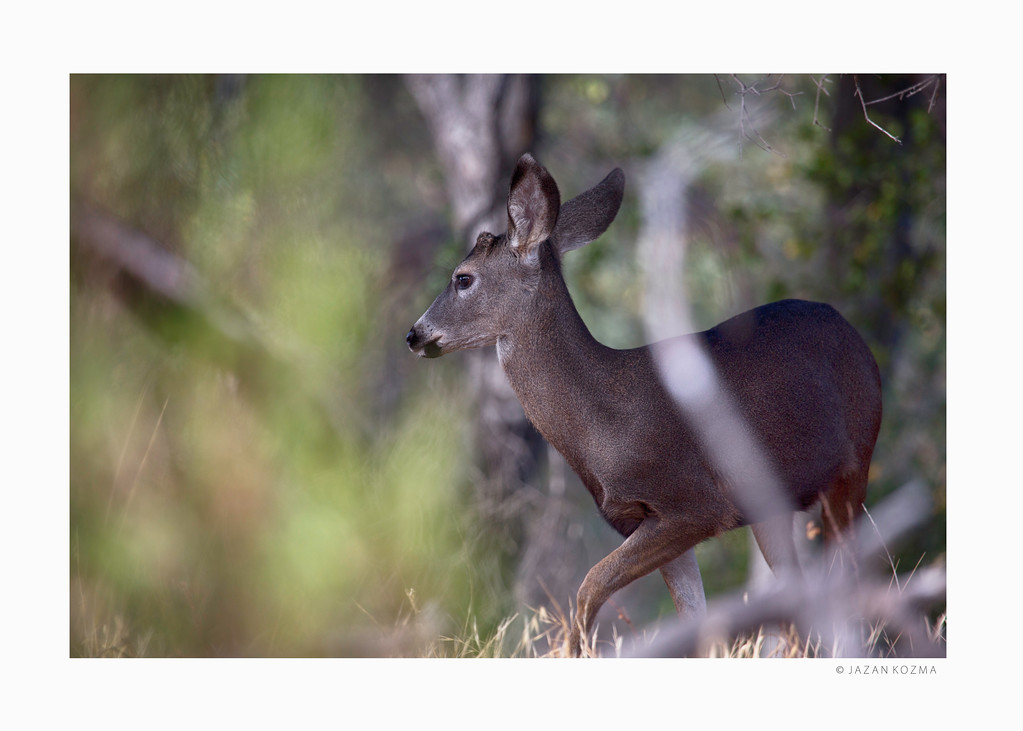 California Mule Deer - Malibu Creek State Park