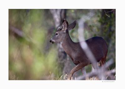 California Mule Deer - Malibu Creek State Park