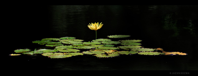 Century Lake Waterlily