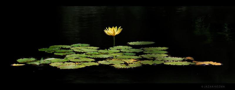 Century Lake Waterlily