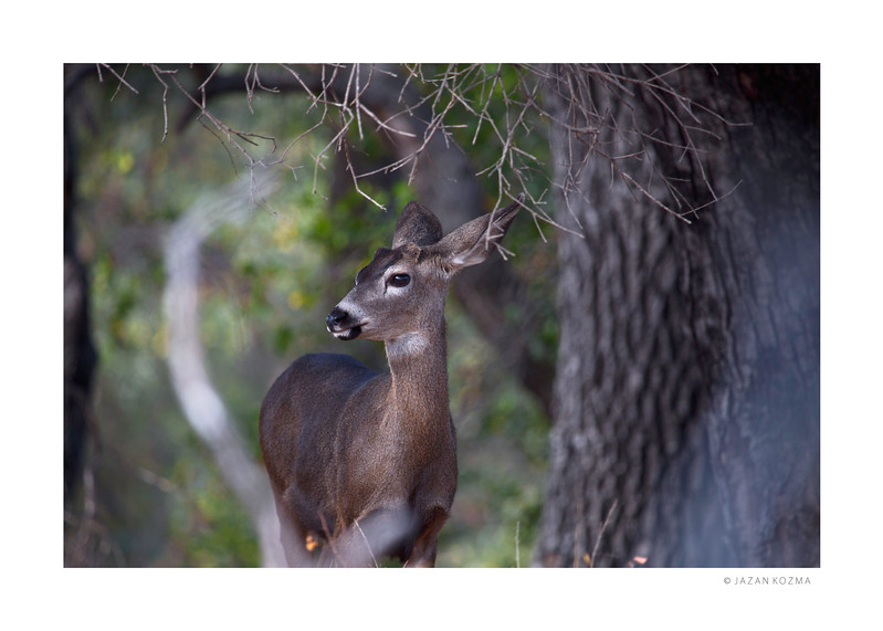 Young California Mule Deer - Malibu Creek State Park