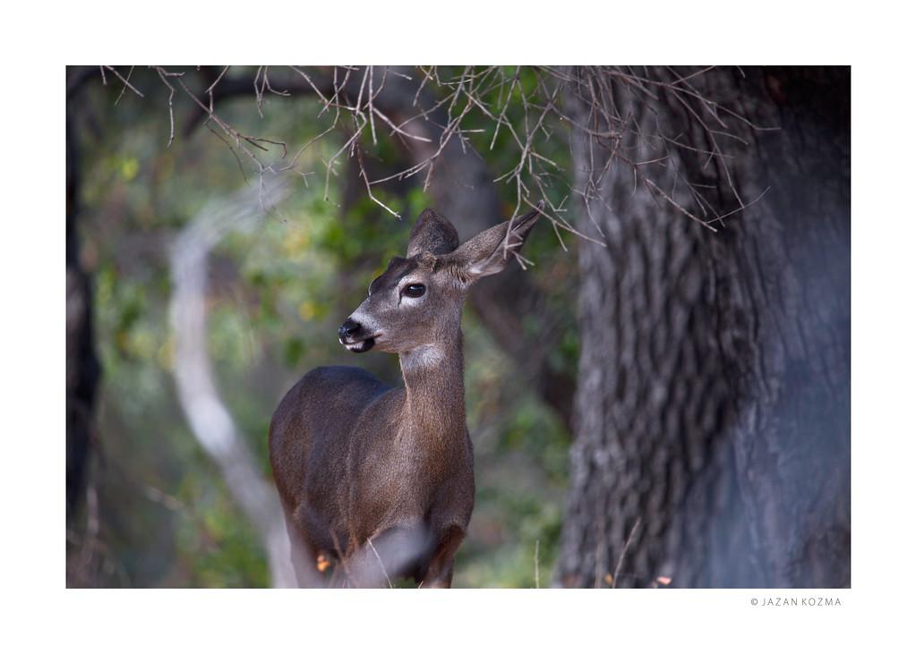Young California Mule Deer - Malibu Creek State Park
