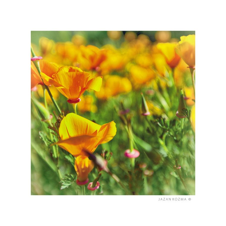California Poppies - Santa Monica Mountains