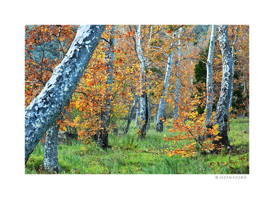 Sycamore Trunks