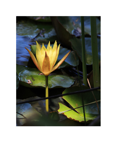 Luminous - WaterLily, Century Lake, Malibu Creek State Park, Malibu