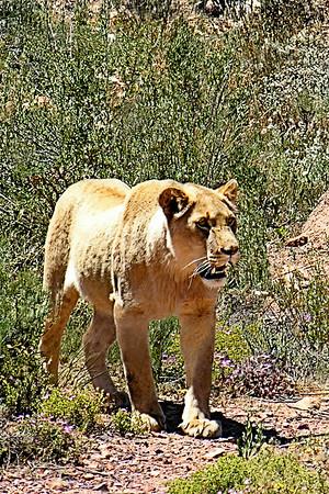 Safari 449