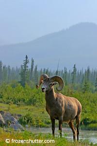 Banff Bighorn