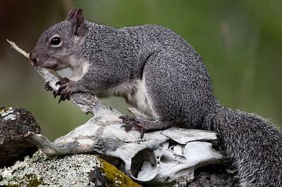 Gray Squirrel Nibbling Deer Skull