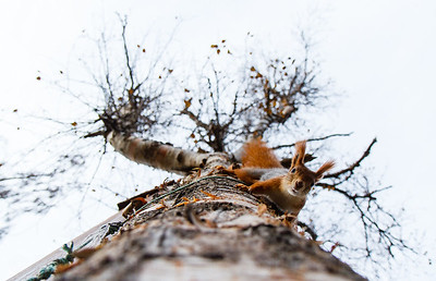 Dividalen, Norway. Red squirrel running down a birch. I mounted the camera with remote control to a commonly used pathway for the squirrels visiting a bird-feeder. I also put some goodies (nuts) close to the lens.
