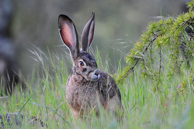 Jack Rabbit (Lepus californicus)