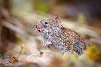 Northern red-backed vole (Myodes rutilus). Troms, Norway.