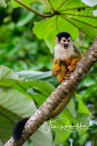 Squirrel Monkey;