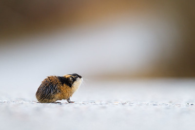Norwegian lemming (Lemmus lemmus). Troms. Norway.