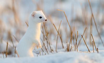 #weasel #røyskatt  #vinterpels #Andøya