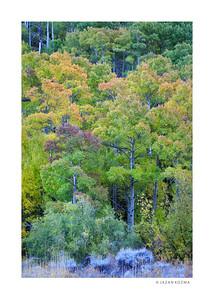 South Fork Aspen Grove, Eastern Sierra, Fall 2017