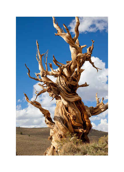Timeless - Bristlecone Pine, White Mountains.