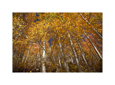 Gold Crowns - Aspen Trees in the Fall. Eastern Sierra