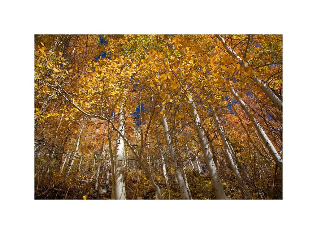Gold Crowns - Aspen Trees in the Fall. Eastern Sierra
