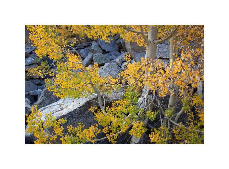 Eastern Sierra Aspen