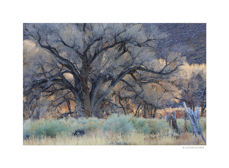 Owens Valley Cottonwood