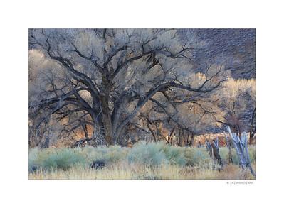Owens Valley Cottonwood