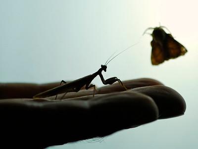 Mantis, Sardinia