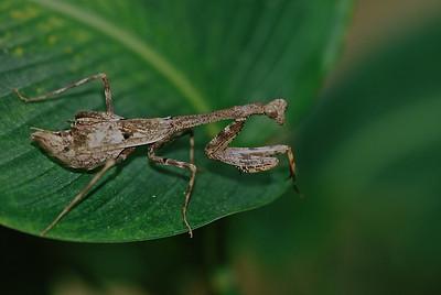 Mantis, Costa Rica
