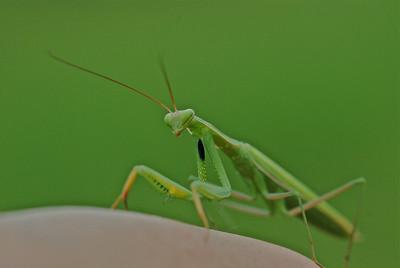 Mantis, Camargue, France