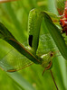 Mantises of the World : Images of Praying Mantises from various trips around the World