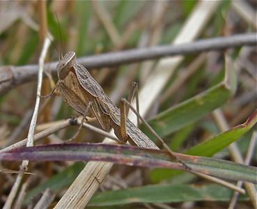 Mantis, Kenya, Africa