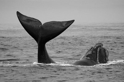 Southern Right Whale #5