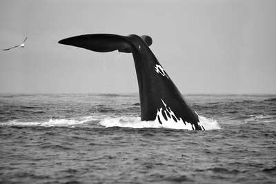 Southern Right Whale #2