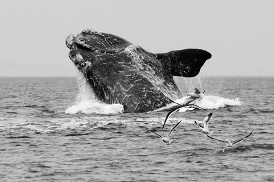 Southern Right Whale #1