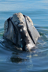 Southern Right Whale #4