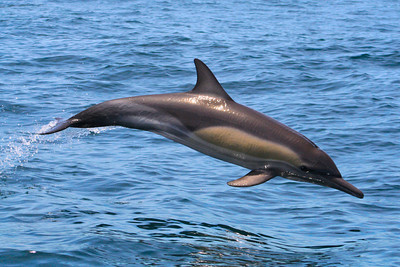 Common Dolphin #5